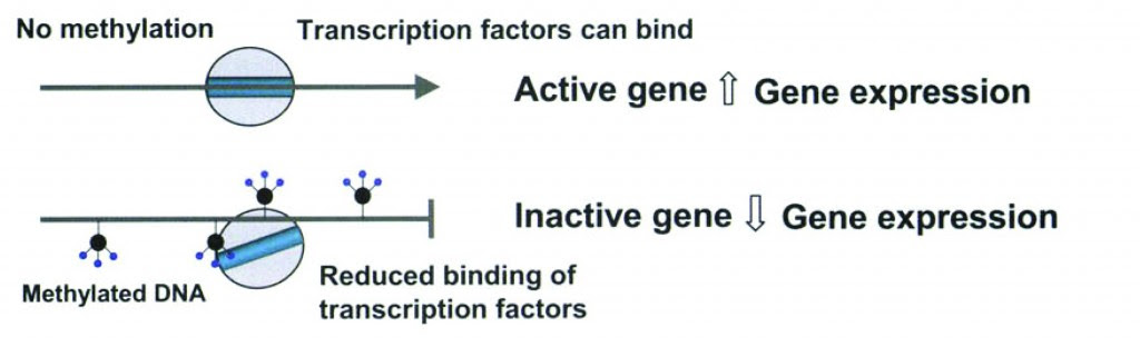 Methylation and gene expression. (2)
