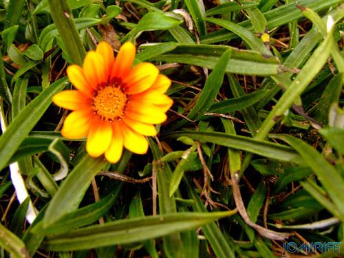 Macro - Flor amarela na relva verde [en] Macro - Yellow flower on the green grass