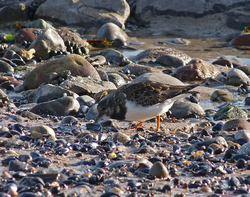 11775 - Turnstone at Mumbles, Gower