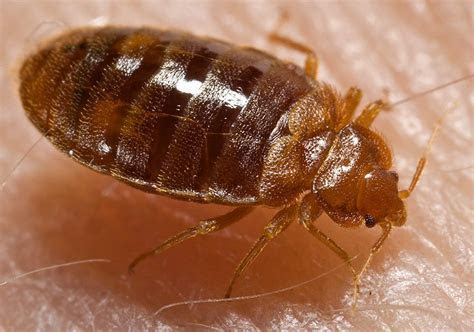 Monkeypox Scare is an Important Bed Bug Reminder for Travelers   EmaxHealth