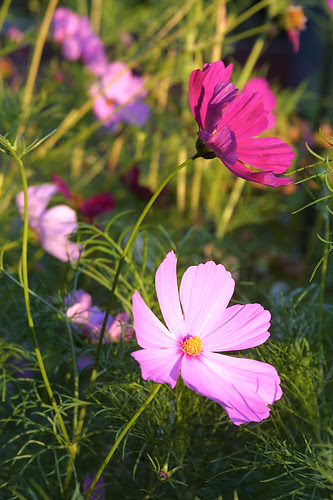 Late summer cosmos