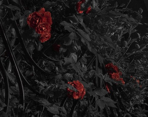 Roses by night.