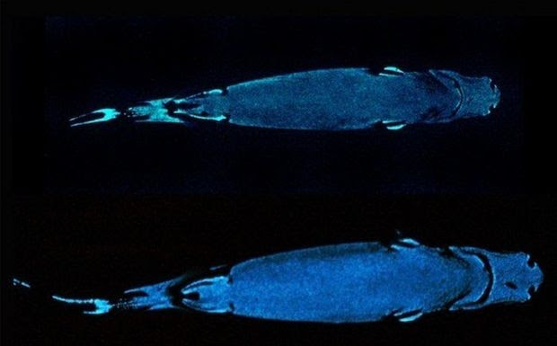 Perierga.gr - Καρχαρίας αόρατος στο φως, φωσφορίζει στο σκοτάδι!