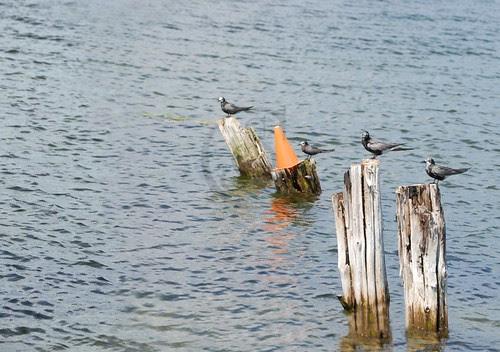Orillia - Birds On Pilings