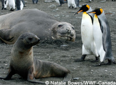 Southern elephant seal, Antarctic fur seal and king penguins share a beach