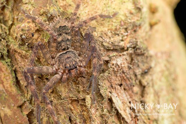 Huntsman Spider (Heteropoda lunula?) - DSC_1706
