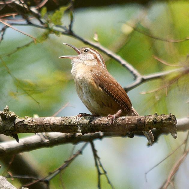 Ed Gaillard: birds &emdash; Carolina Wren singing