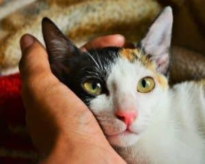 Kucing adalah salah satu hewan yang paling lucu dan banyak di pelihara oleh sebagian orang 8 Cara Menghilangkan Belatung Pada Kucing