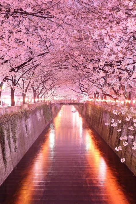 wonderful pink cherry blossom wallpaper iphone