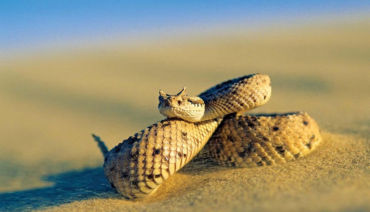 Resultado de imagem para snake Sidewinder