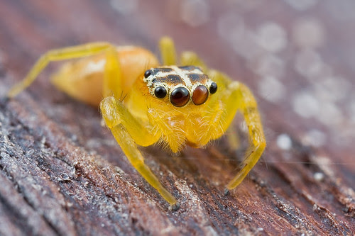 yellow jumping spider Hot Cross Bun...anyone??:D IMG_9388 copy