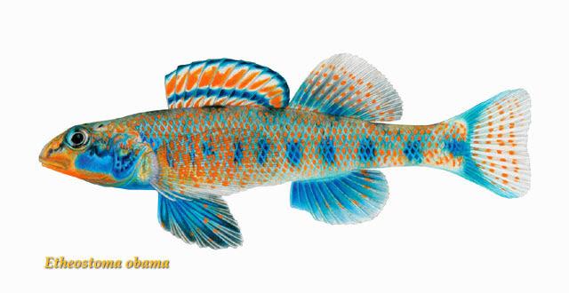 Etheostoma obama: Το ψάρι που το λένε... Ομπάμα