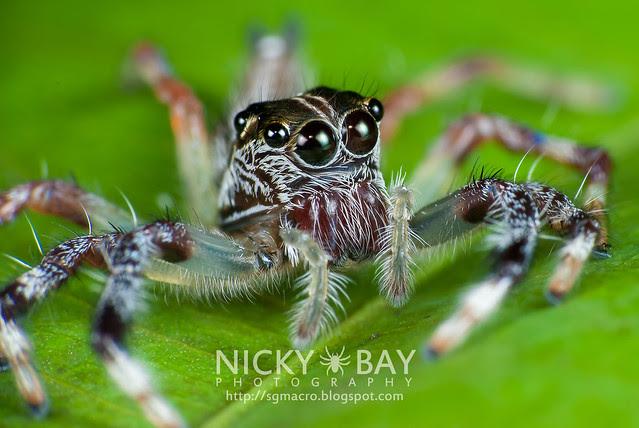 Jumping Spider (Salticidae) - i02905