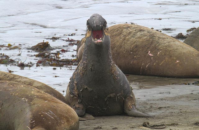 A molting elephant             seal taken at the Piedras Blancas Elephant Seal Rookery in             San Simeon, California --