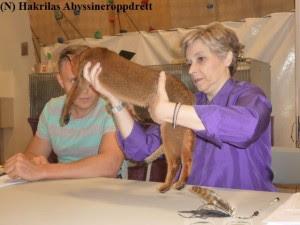 Nadina var første abyssiner av mine katter til sin grunnbedømmelse hos Donatella og dommereleven hennes.