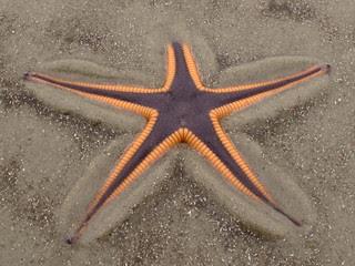 Astropecten articulatus, Stafford Beach, Cumberland Island National Seashore, Camden County, Georgia 1
