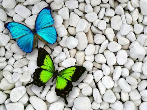 Butterfly Wallpapers   Animals Wallpapers Gallery   PC
