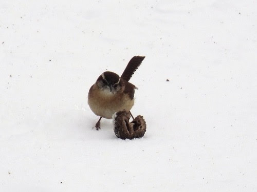 wren eating walnut in the snow