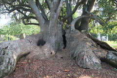 tree Albert park