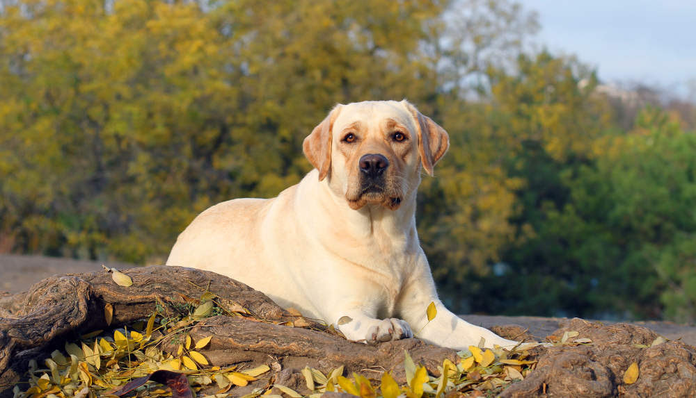 Buy Yellow Lab Puppies For Sale In Connecticut USA