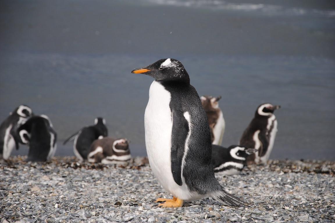 A região expandida abriga diversas espécies de pinguins. Foto: Leandro Cluffo/Flickr