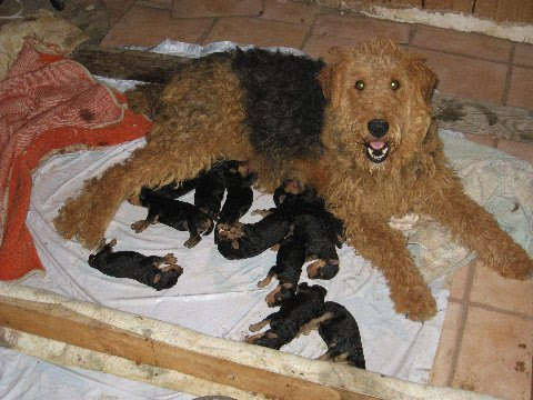 Larger Airedale puppies for sale  Airedale Terriers  Airedale Terriers