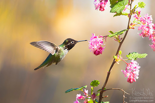 Anna's Hummingbird and Flowering Currant, Snohomish County, Washington
