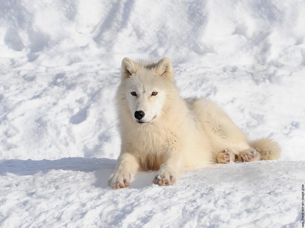 21 Beautiful Image à Colorier De Loup
