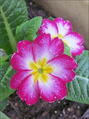 Pink and white primroses