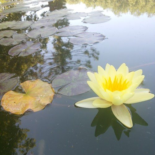 #yellow #waterlily by Joaquim Lopes