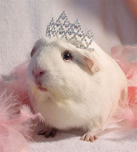 The Guinea Pig Daily: Princess Piggie