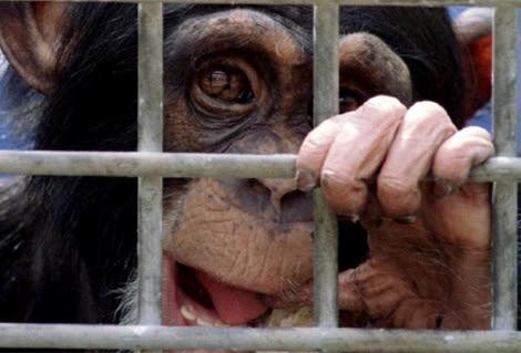 Un chimpancé en un laboratorio de experimentación en Rijswijk (Países Bajos). | Reuters