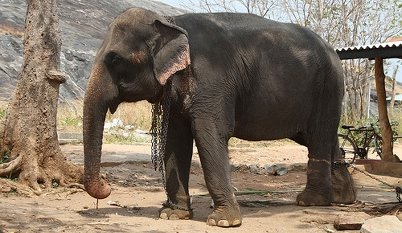 Treatment sought for elephant sickness 'Anoplocephala'