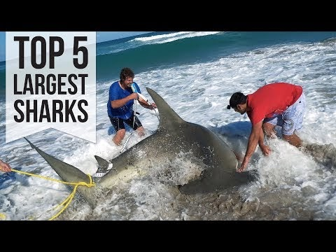 Largest Sharks Caught