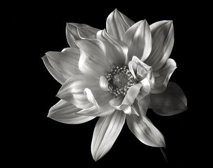 Black And White Flower Portraiture Shutterbug