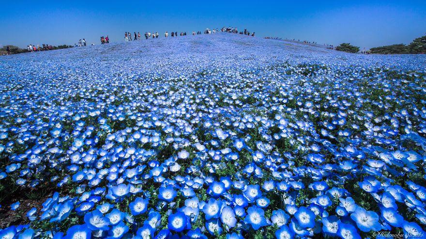 fotografia-flores-nemophila-japon-hidenobu-suzuki (5)