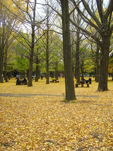 Golden leaves of ginko trees in Yoyogi Park 3