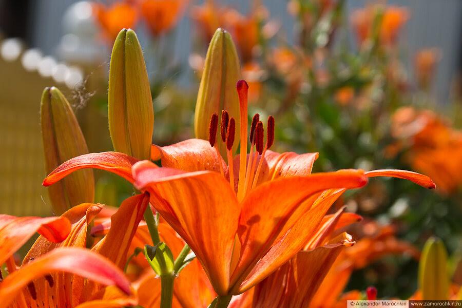 Оранжевые лилии, цветы и нераспустившиеся бутоны