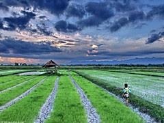 Rice fields II by Paulo Kawai