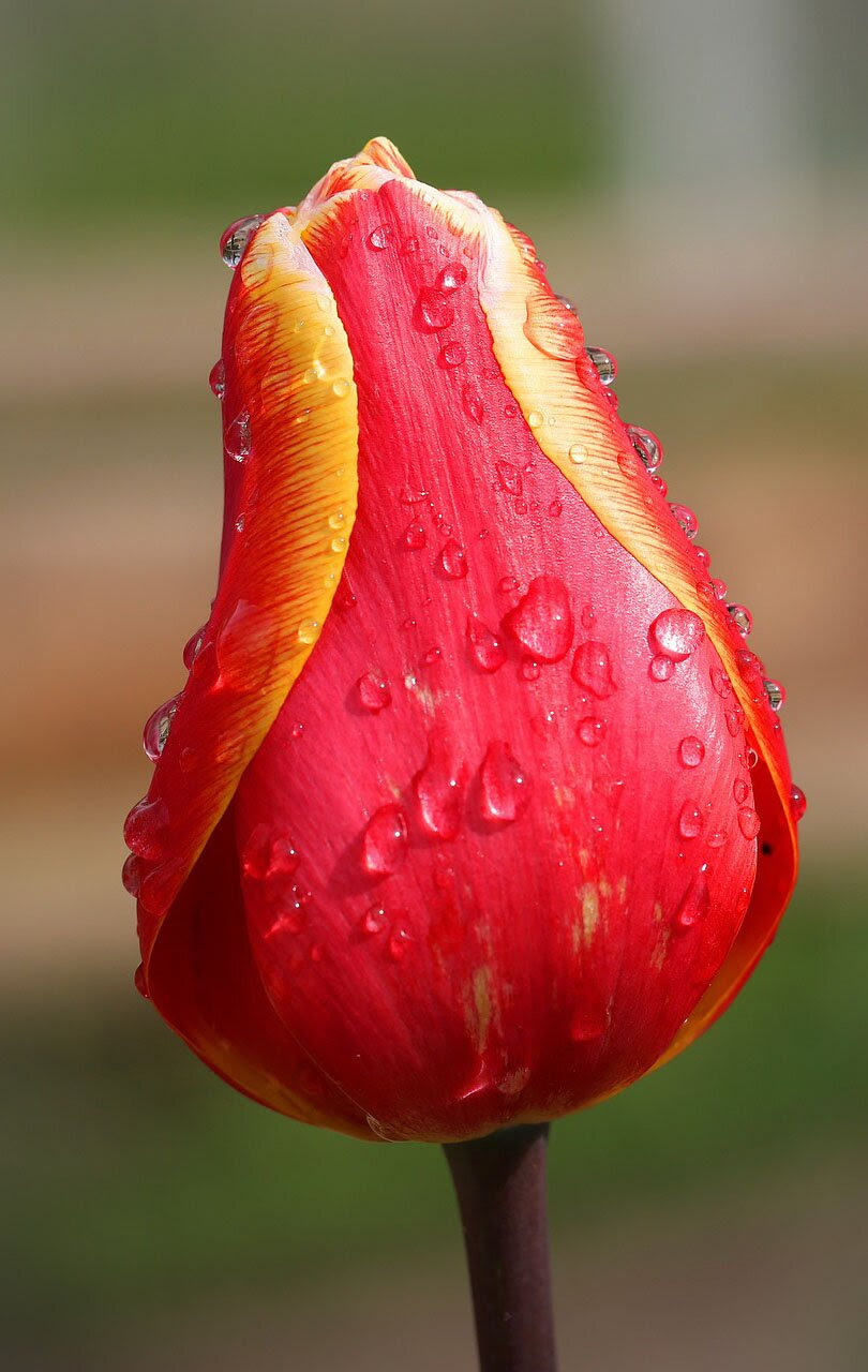 Tulip flower photo, 35 best flower photos