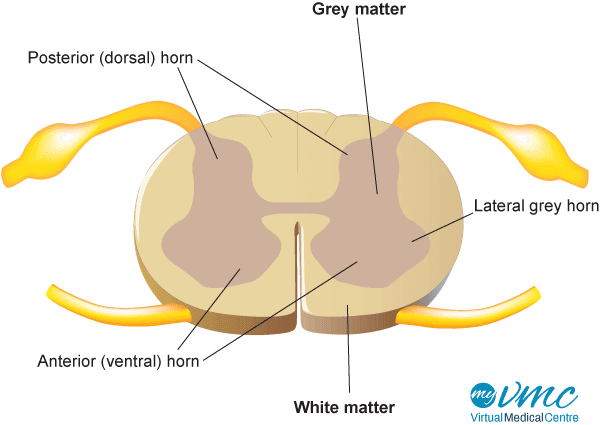 spinalCord_cross section_600px