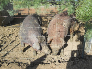 Our Duroc Pigs Odysseus and Penelope