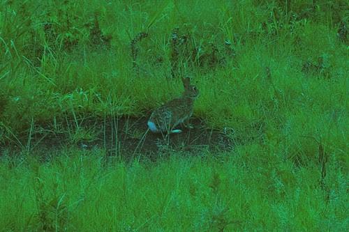 bunny super green.jpg