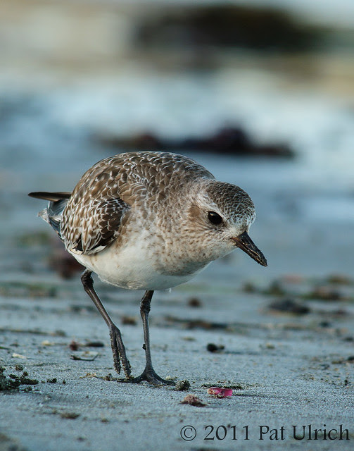 Prowling black-bellied plover - Pat Ulrich Wildlife Photography