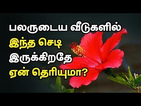 Hibiscus Health Benefits In Tamil Sembaruthi Flower Benefits