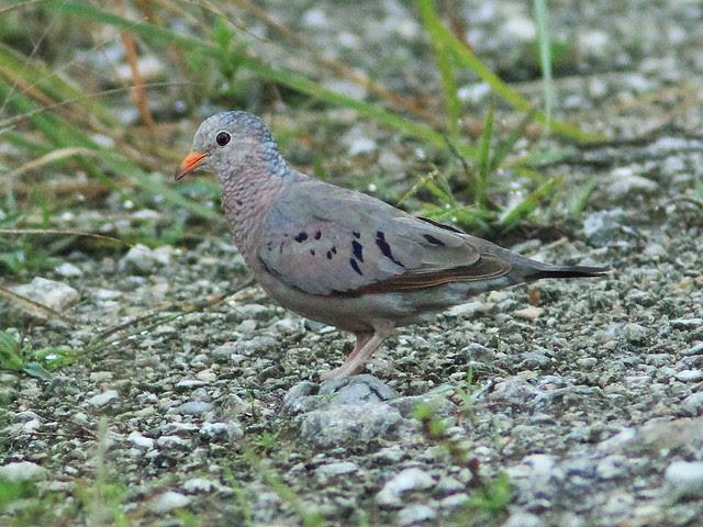 Common Ground-Dove 20130805