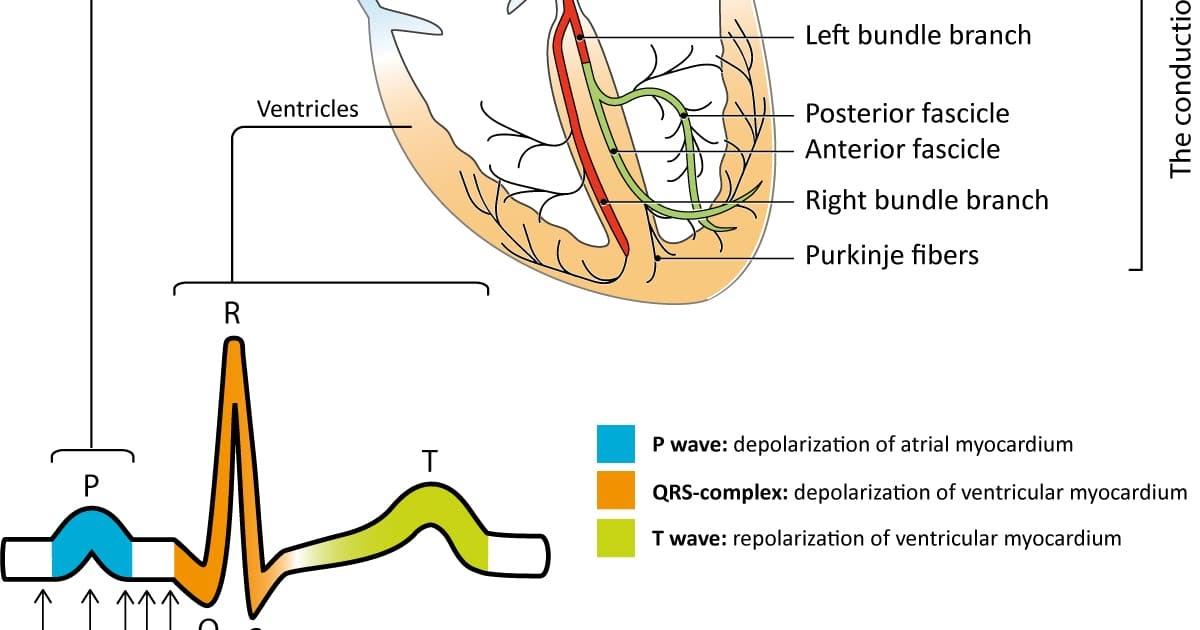 Nodes Of The Heart Diagram - Photos Idea