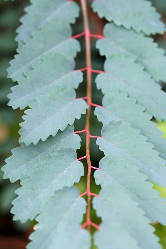 sticks of blood leaf