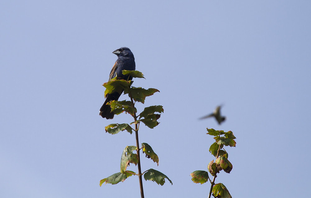 BlueGrosbeak vs RT hummer