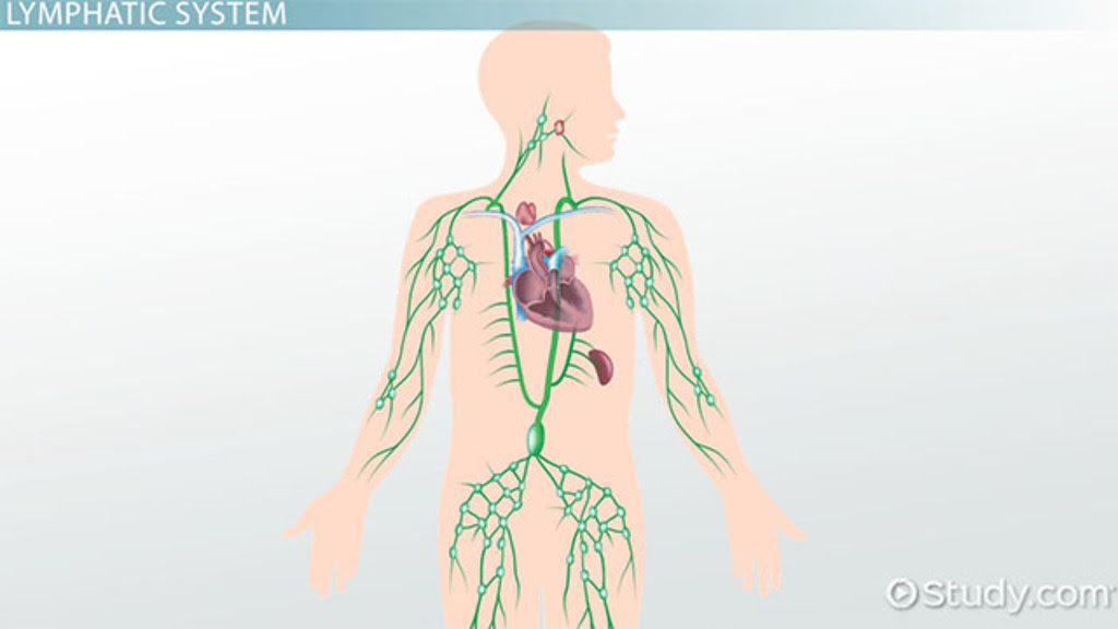 what is the lymphatic system structure function and vocabulary1_174334